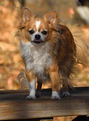 Click image for larger version.  Name:tabled chihuahua800.jpg Views:2 Size:360.5 KB ID:39600